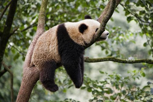 Panda 20
